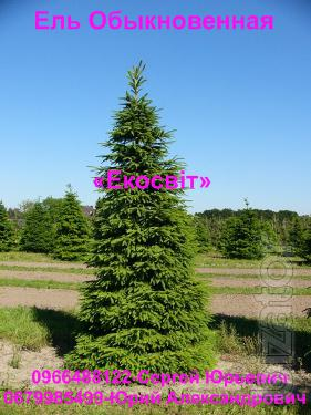 Spruce at producer prices
