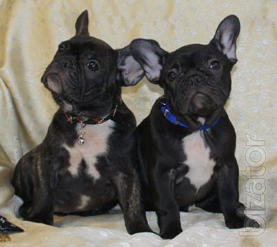 French bulldogs in an Expensive Pleasure puppies