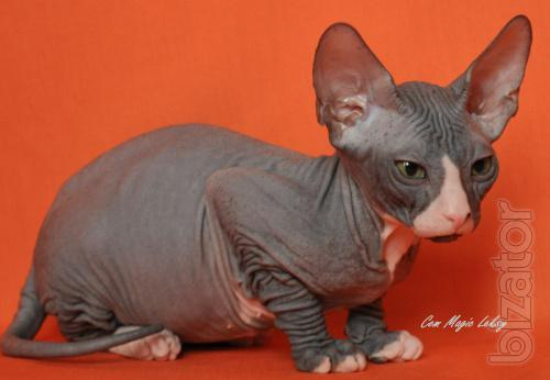 The don Sphynx kittens