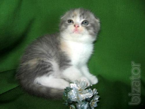Slurricane Scottish kittens, to buy a kitten