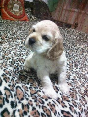 Sell puppy Spaniel