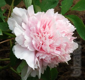 Tree and herbaceous peonies, ITOH hybrids - more than 70 varieties