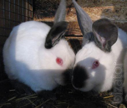 Sell Californian rabbits breed