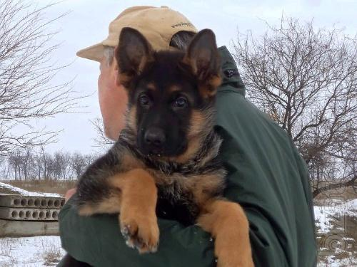 Quality German shepherd puppies in kennel Foxburg