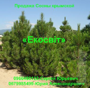 The sale of the Crimean Pine