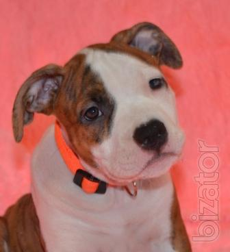 Selling unique puppies American Staffordshire Terrier.
