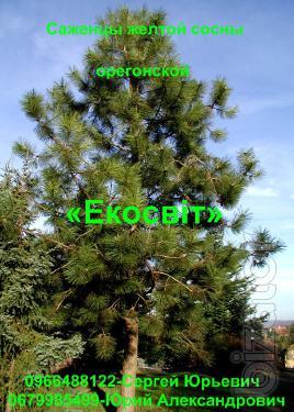 Seedlings of Ponderosa pine