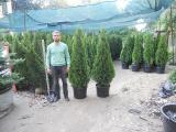 "Thuja occidentalis Smaragd 150-175 cm ""extra"" Kiev to buy."