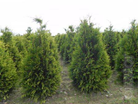 thuja occidentalis colonbiana brabant kiev to buy growth. Black Bedroom Furniture Sets. Home Design Ideas