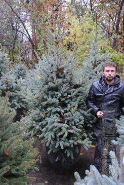Blue spruce extricate 2-2,5 m Kiev to buy. Ozelenenie Kiev.