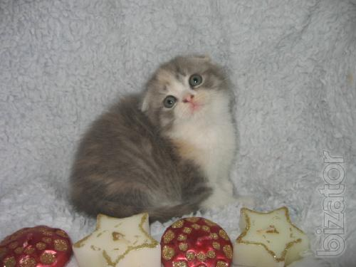 Purebred bred and healthy kittens. Sale