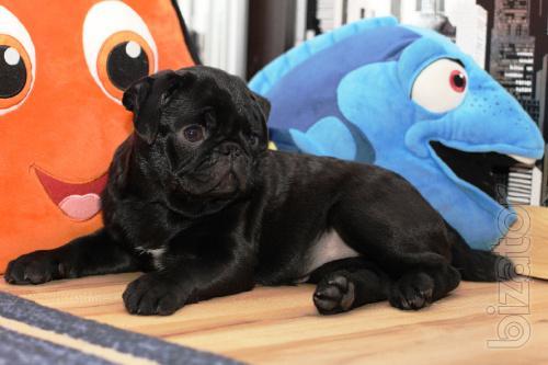 Thoroughbred puppies pug