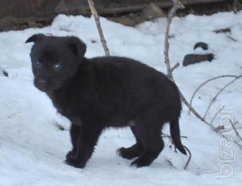 Puppies will be small, 1.5 months, black color, the coat is short, give