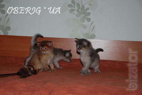 Somali kittens cat (Somalia)