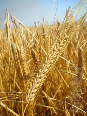 Will sell seeds of barley, peas, buckwheat and other crops from the manufacturer
