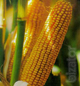 Seeds of early-maturing corn hybrids , corn seeds saharn