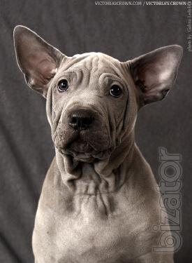 Thai Ridgeback dog (boy)