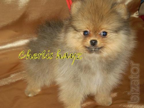 Pomeranian girls and boys.