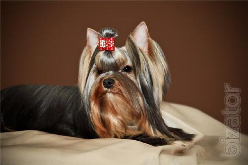 Puppies for sale Yorkshire Terrier.