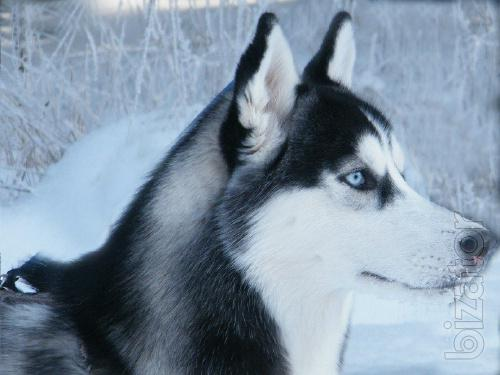 the husky is a purebred blue-eyed girls at an affordable price