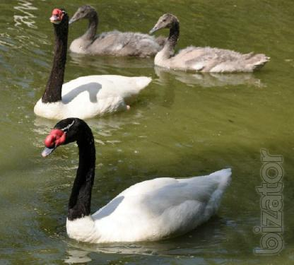 Swans, Peacocks, Pheasants, Ducks, Goose, Cranes you can buy from us . Sell