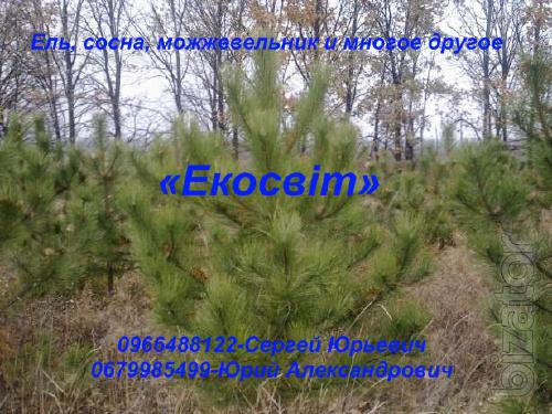 Spruce, pine, juniper and much more
