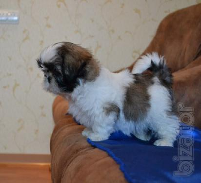 Gorgeous puppies SHIH Tzu with documents Xu, Shou-class, inexpensive.