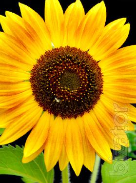 Sunflower seeds Syngenta (Syngenta).