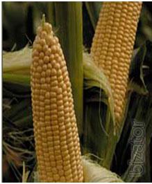 Seeds VEGA F1 - corn sugar, superlogo type (May Seed Group,Turkey)