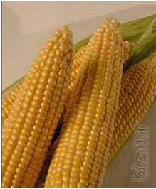 Seeds March F1 - corn sugar, superlogo type (May Seed Group,Turkey)