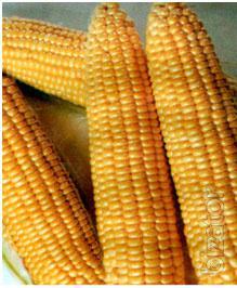 Seeds Dimacs F1 sweet corn, sweet type (May Seed Group,Turkey)