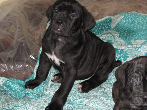 Beautiful puppies cane-Corso