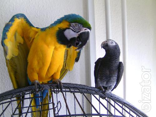 Jaco, Cockatoo, macaw, Amazon, you can buy from us. Sell