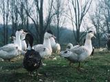 "LLC Mulard Ukraine"" implements ducklings cross mulard from France."