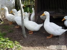 "LLC Mulard Ukraine"" implements ducklings cross-Beijing from France."