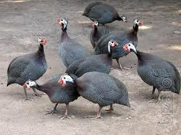 "LLC Mulard Ukraine"" implements broiler Guinea fowl from France."