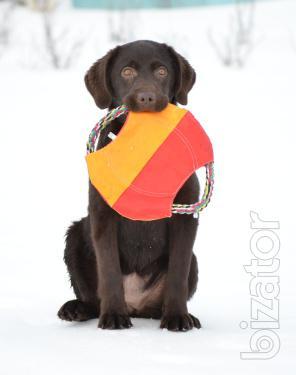 Chocolate Labrador girl