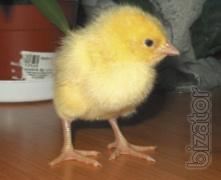 "LLC Mulard Ukraine"" implements of incubators in Poland chickens ROSS 308 per diem."