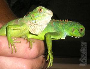 The green iguana, iguana, Madagascar iguana black and other types of manual individuals