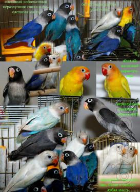 Nerazlucniki rosy-cheeked, masked, Fischer and rare color morphs - manual Chicks and couples