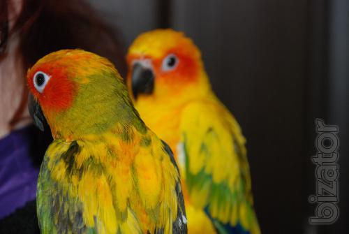 Manual parrot Aratinga solar - Chicks lycormas