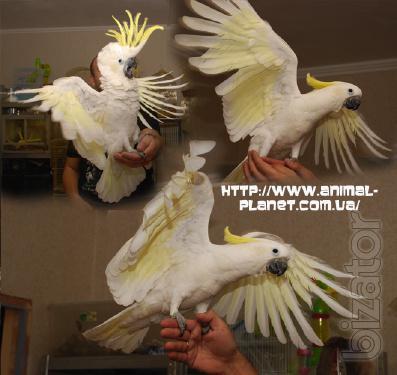 Manual parrot Jeltuhay cockatoo (small, large, medium) - manual Chicks lycormas