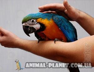 Manual parrot macaw Blue-and-yellow or Ara Ararauna, lycormas