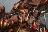 Giant Madagascar cockroach and normal Madagascar cockroach - exotic handmade velikana