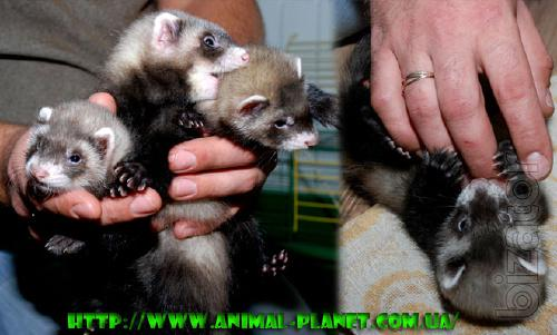 Ferret decorative or hold - manual puppies gojkov, different colors