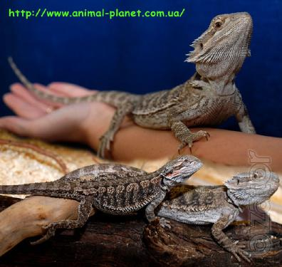 Bearded dragon and a water dragon - manual unpretentious lizards
