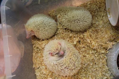 Afrikanske pygmy hedgehog hand kids of different colors