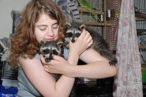 Fully manual lycormas - raccoon Polosko