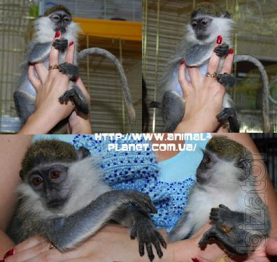 Dwarf monkey or verveda - home manual monkey