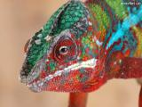 Yemen chameleon and Chameleon Panterovyj - manual chameleons own breeding